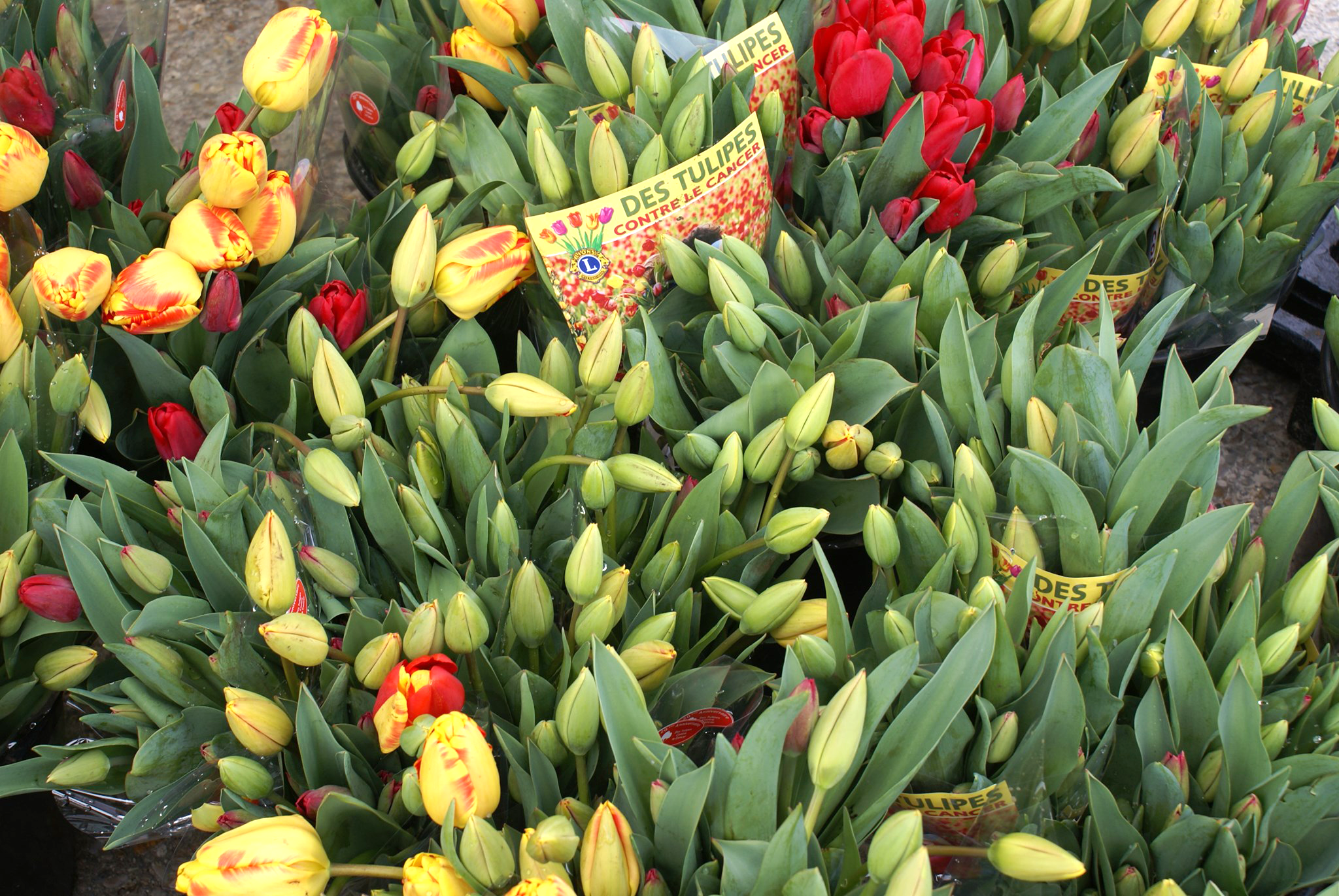 TULIPES CONTRE LE CANCER - LIONS CLUB